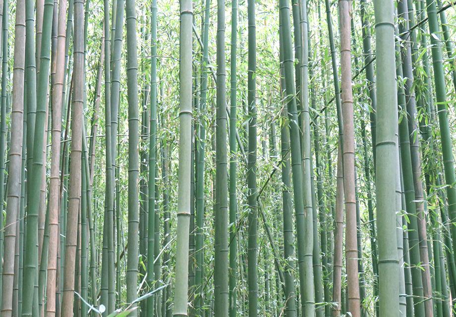 佐渡の竹林